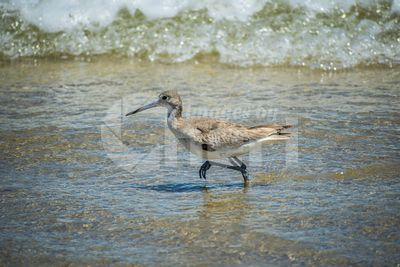 A Willet Bird in Padre Island NS, Texas