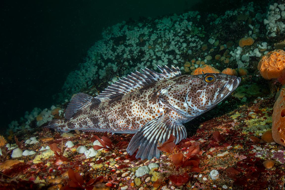 Medium sized Lingcod, Ophiodon elongatus, at Hunt Rock, Browning Pass.
