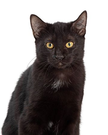 Black Domestic Cat Looking Forward Closeup