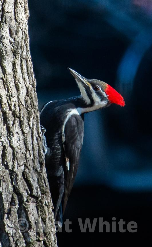 Piliated_woodpecker-_March_01_2007_NAT_WHITE