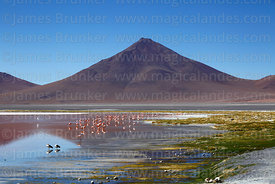 Flock of flamingos in Laguna Colorada and Cerro Pabellon volcano, Eduardo Avaroa Andean Fauna National Reserve, Bolivia