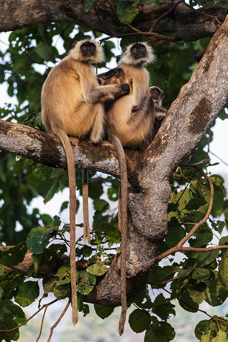 Common Langurs Grooming and Caring for Young in a Fig Tree