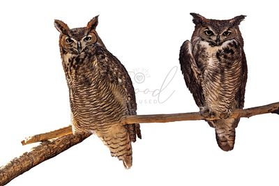 Two Barn Owls Perched on Branch copy