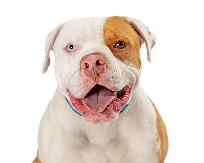 Closeup panting pet pit bull dog with multicolored eyes isolated
