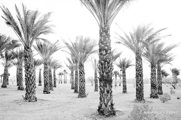 DATE PALMS OASIS DATES, DEATH VALLEY CALIFORNIA BLACK AND WHITE