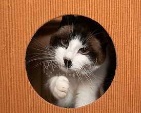 Tricolor Cat Raising Paw inside Play Habitat