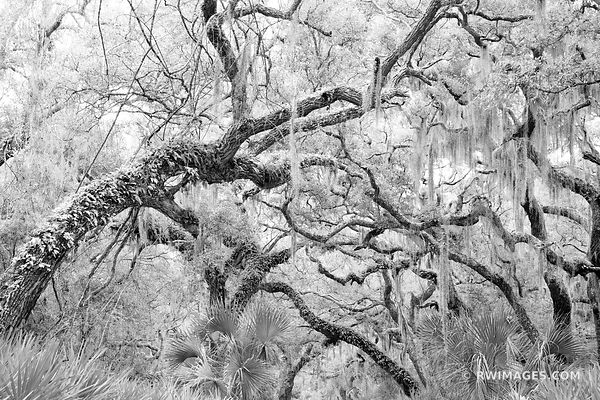 COASTAL FOREST LIVE OAKS TREES SPANISH MOSS CUMBERLAND ISLAND GEORGIA BLACK AND WHITE