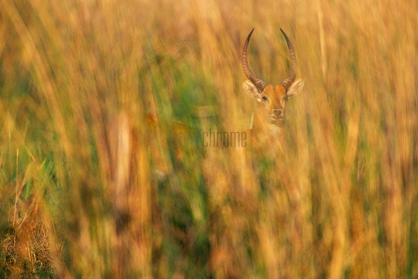 Red Lechwe in Tall Grass