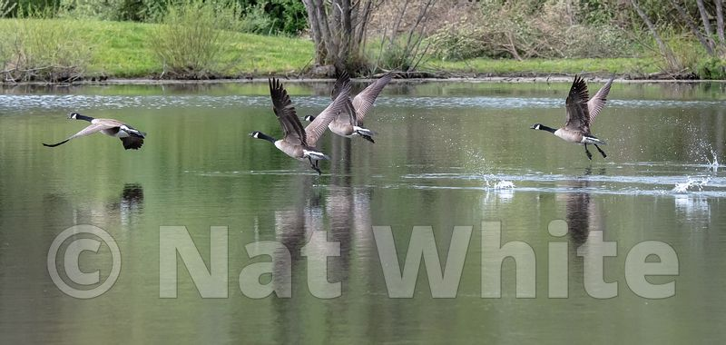 Goose_takeoff_Date_(Month_DD_YYYY)1_1600_sec_at_f_7.1_NAT_WHITE