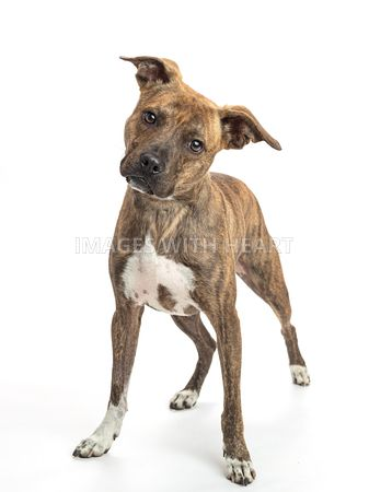 Brindle pit bull standing facing camera