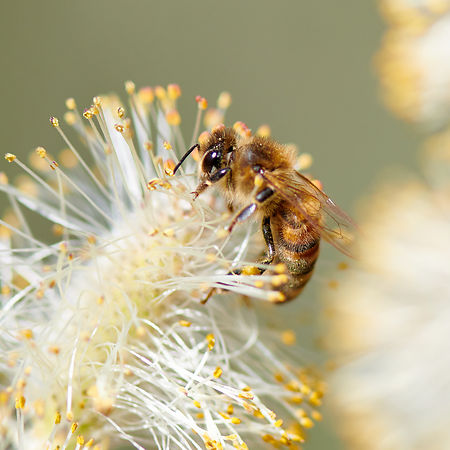 Honey Bee on Pussy Willow Catkin