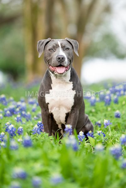 Blue pitbull puppy sitting in Texas bluebonnets