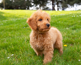 Red Goldendoodle Puppy Standing in Grassy Park with Attentive Expression