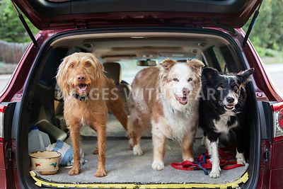 Three_Dogs_In Back_Of_Car