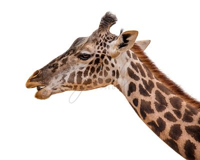 Masai Giraffe Profile Closeup Isolated