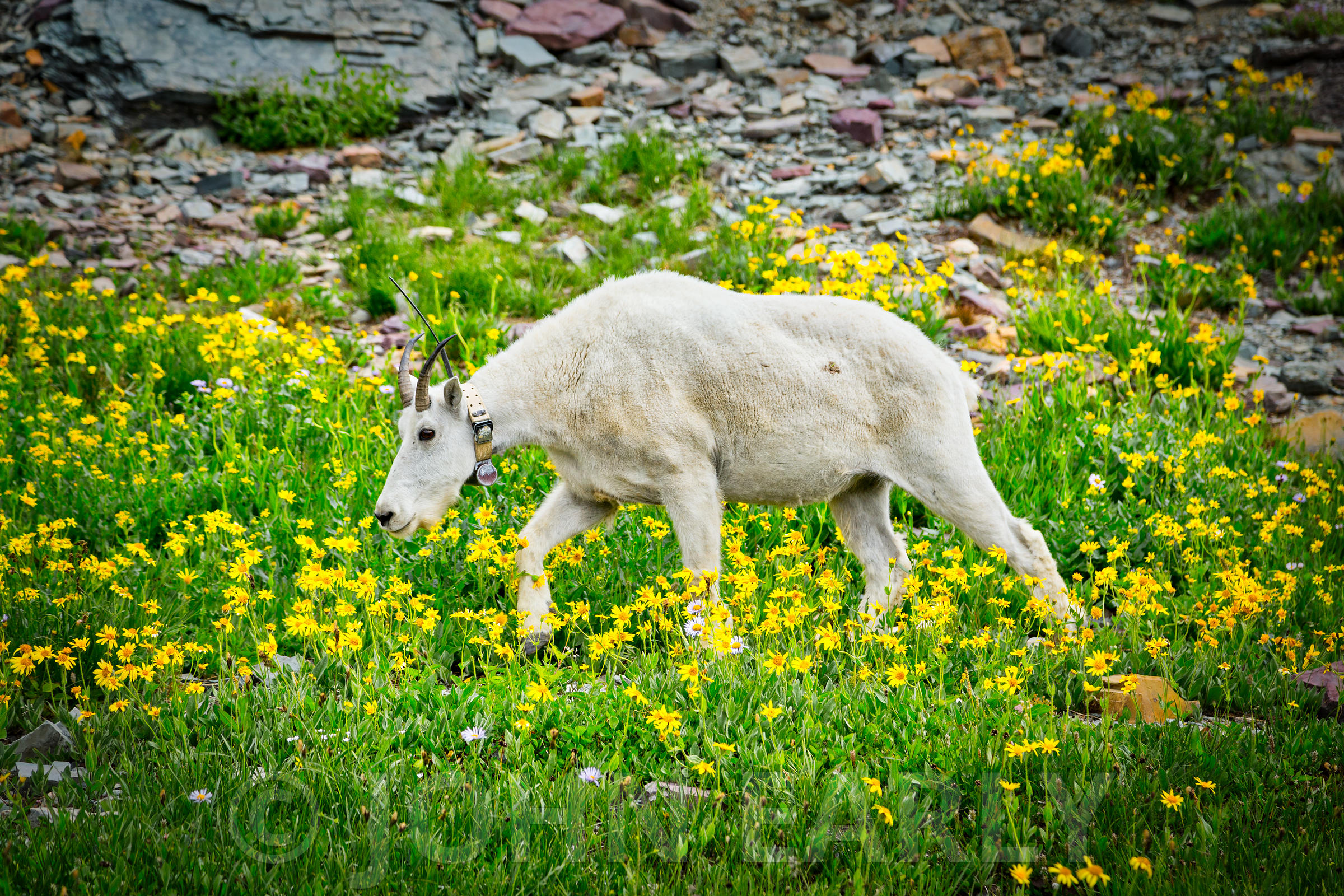Mountain Goat at Logan Pass.