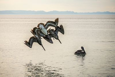 Like fighter jets in formation three Brown Pelicans dive into the sea after sardines.
