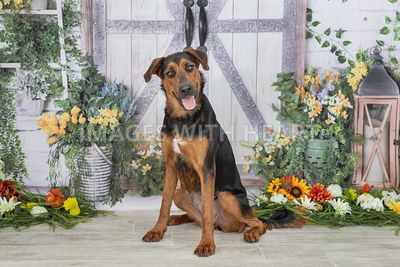 rottweiler looking at camer in front of gray barn