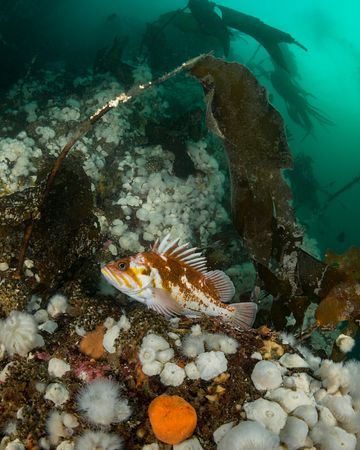 Copper Rockfish, Sebastes caurinus, perched on ledge with Plumose Anemone.