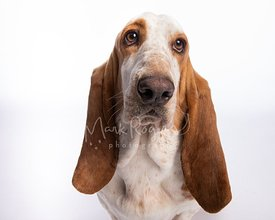 Studio Portrait of Basset Hound on White