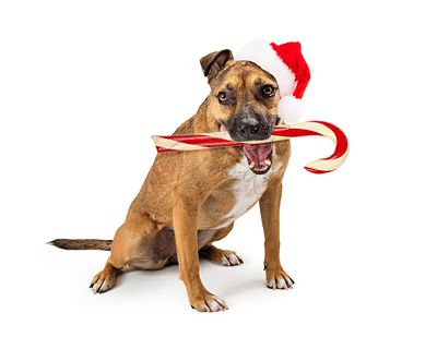 Funny Dog Carrying Christmas Candy Cane