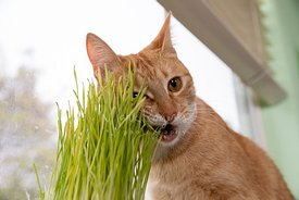 Orange Tabby Cat Chews on Cat Grass