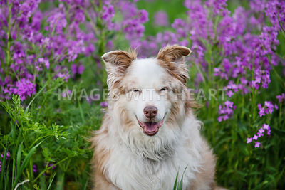 Large_Dog_Close_Up_Standing_In_Grass_Purple_Flowers