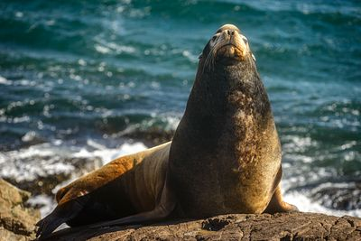 Big male Callifornia Sea Lion, Zalophus californianus, at Race Rocks, Vancouver Island.