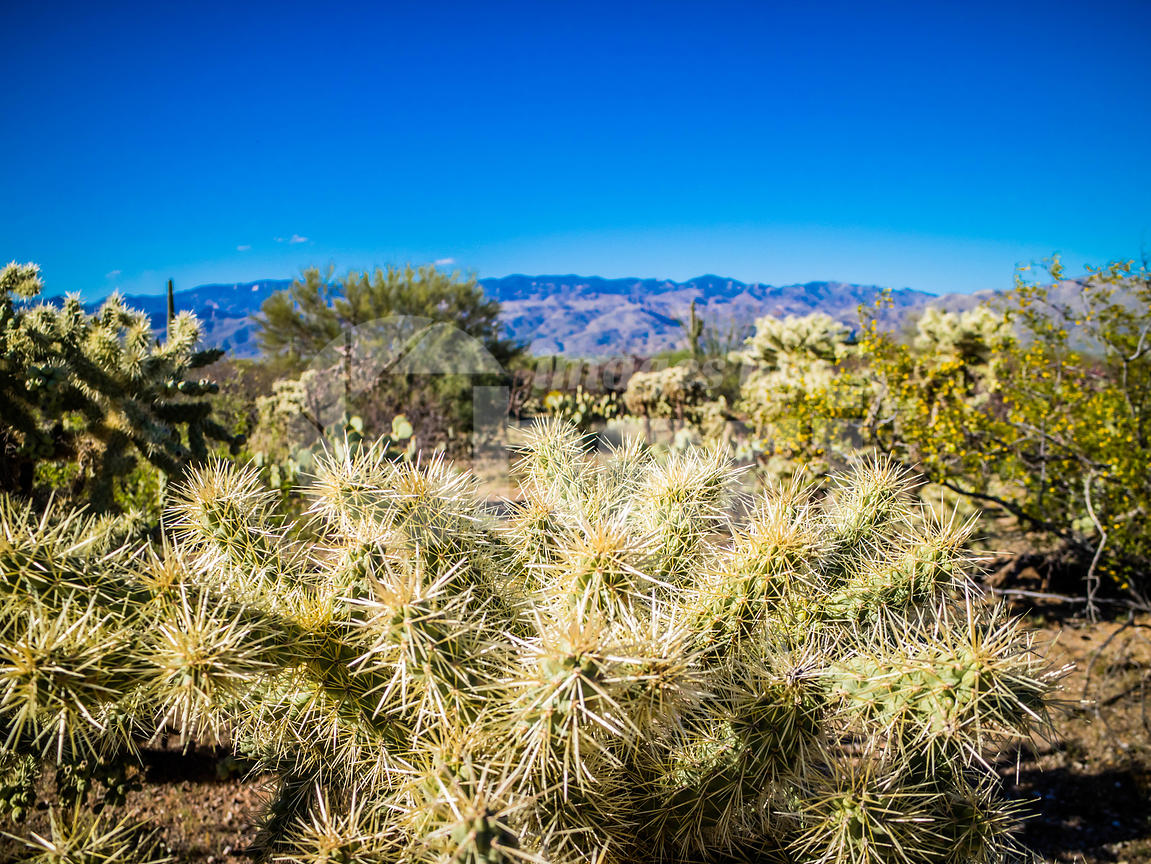 A Teddy Bear Cholla in Saguaro National Park, Arizona