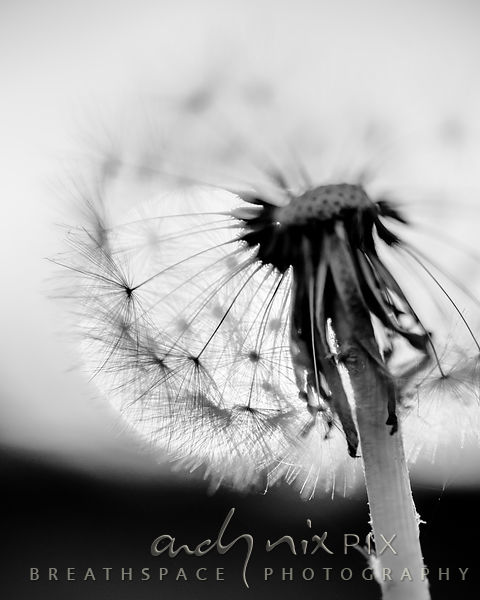 Wall Art Decor Photo Print: Dandelion Sunrise I