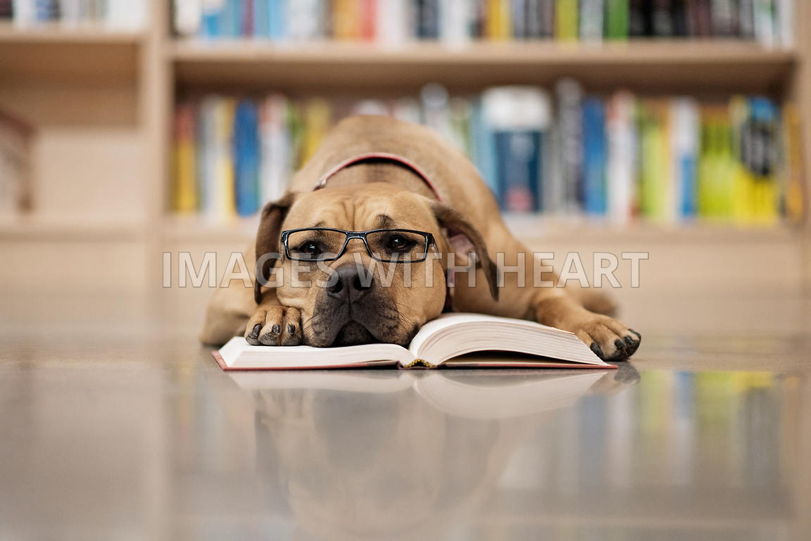 Dog_laying_on_library_floor_head_on_book_with_glasses