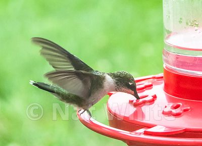 hummingbird_Date_(Month_DD_YYYY)1_1000_sec_at_f_9.0_NAT_WHITE