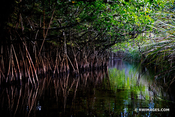 MANGROVE TUNNEL TURNER CANOE TRAIL RIVER BIG CYPRESS NATIONAL PRESERVE EVERGLADES FLORIDA