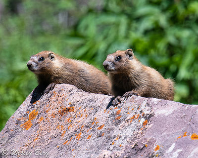 Young Marmots Hanging out on the Rocks