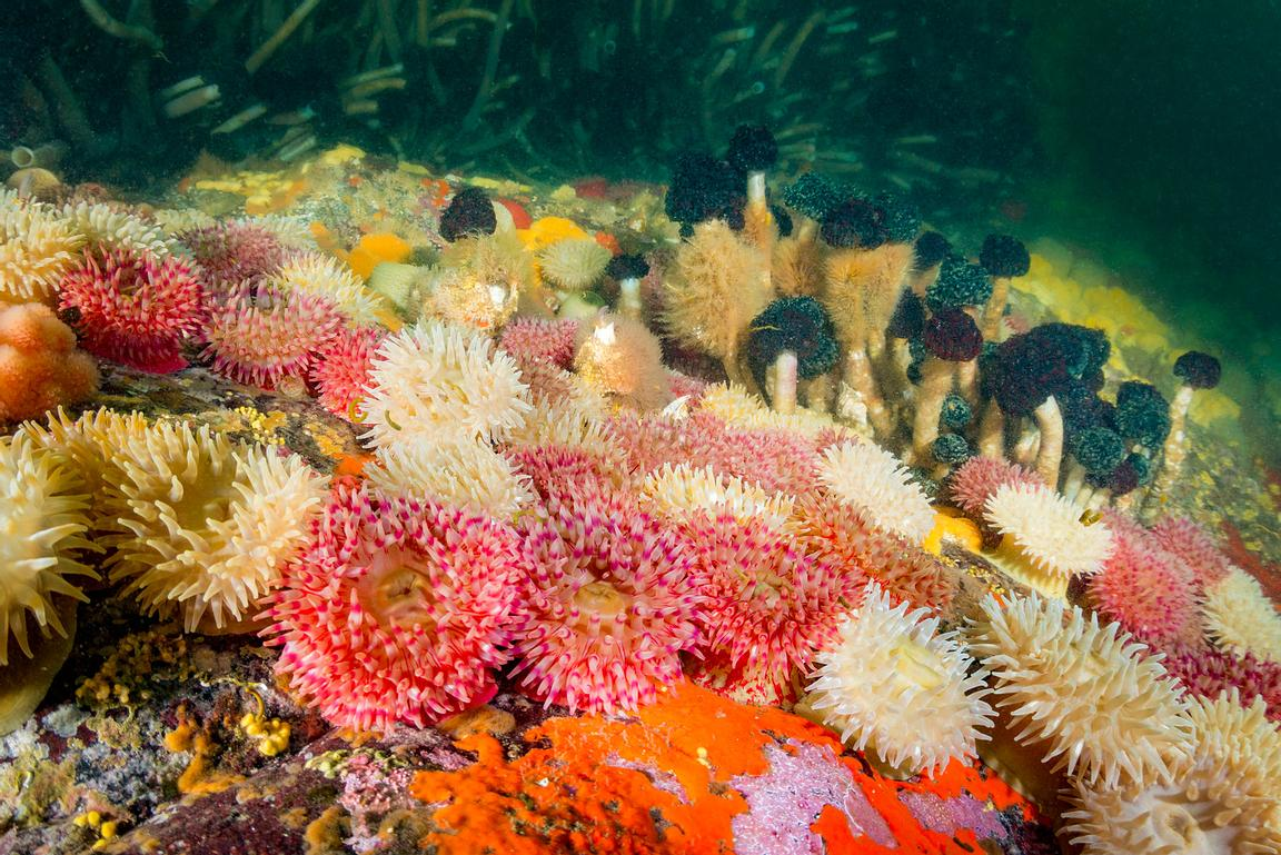 Painted Anemone, Urticina grebelnyi, with Tube worms in a narrow current swept passage in British Columbia.