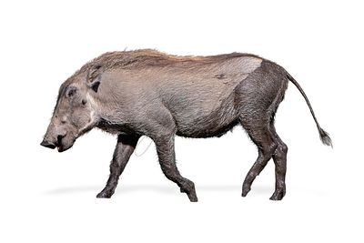 Baby Warthog Walking Side Isolated
