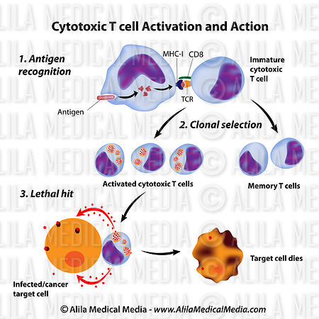 Immune system basics, function of cytotoxic t cells