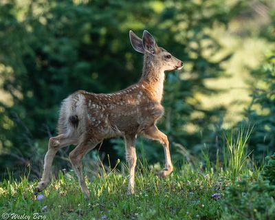 LMW08: A Young Mule Deer Fawn in the Forest