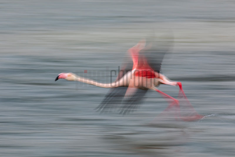 Greater Flamingo Taking off