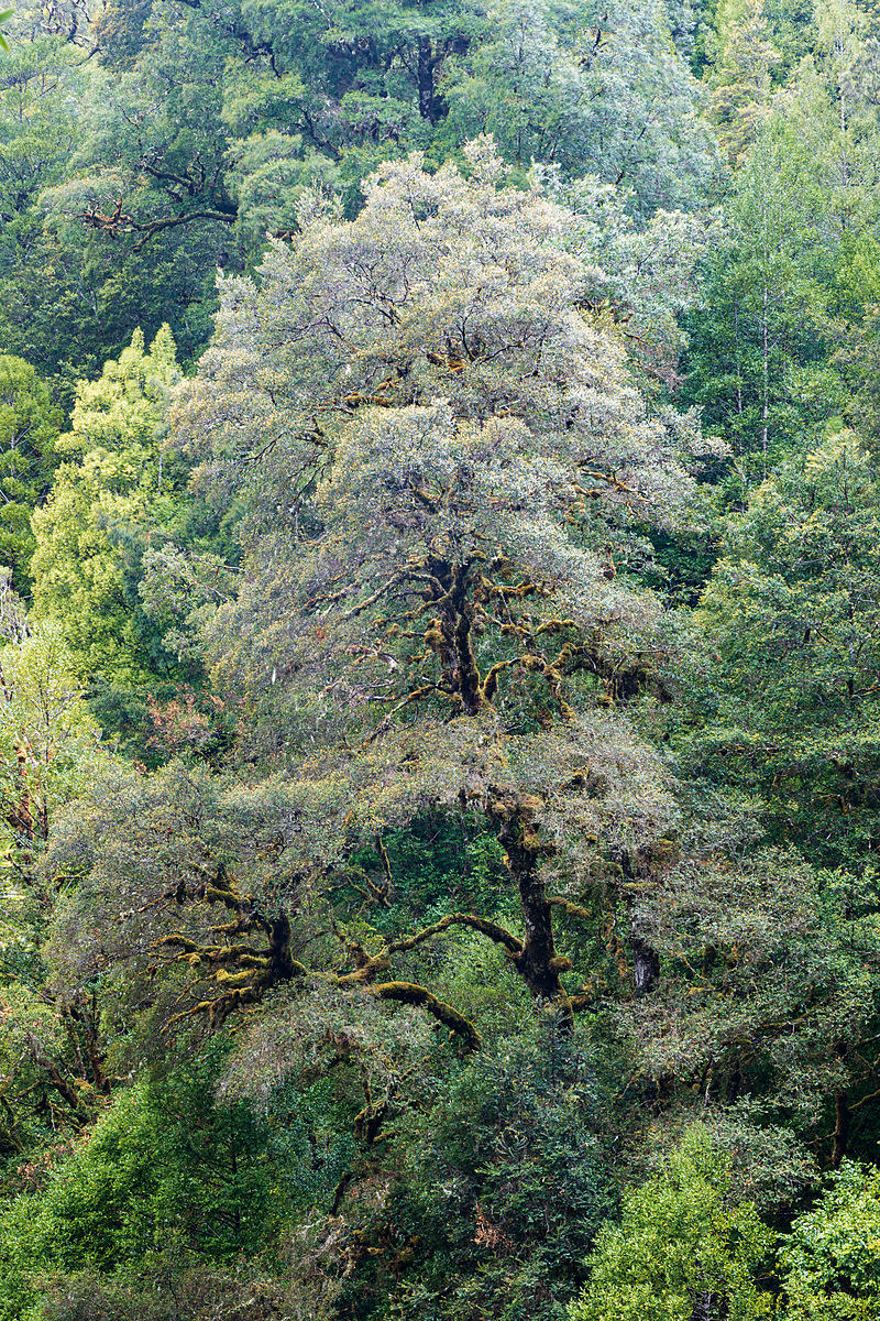 Myrtle Tree from the Philosopher Falls Viewing Platform