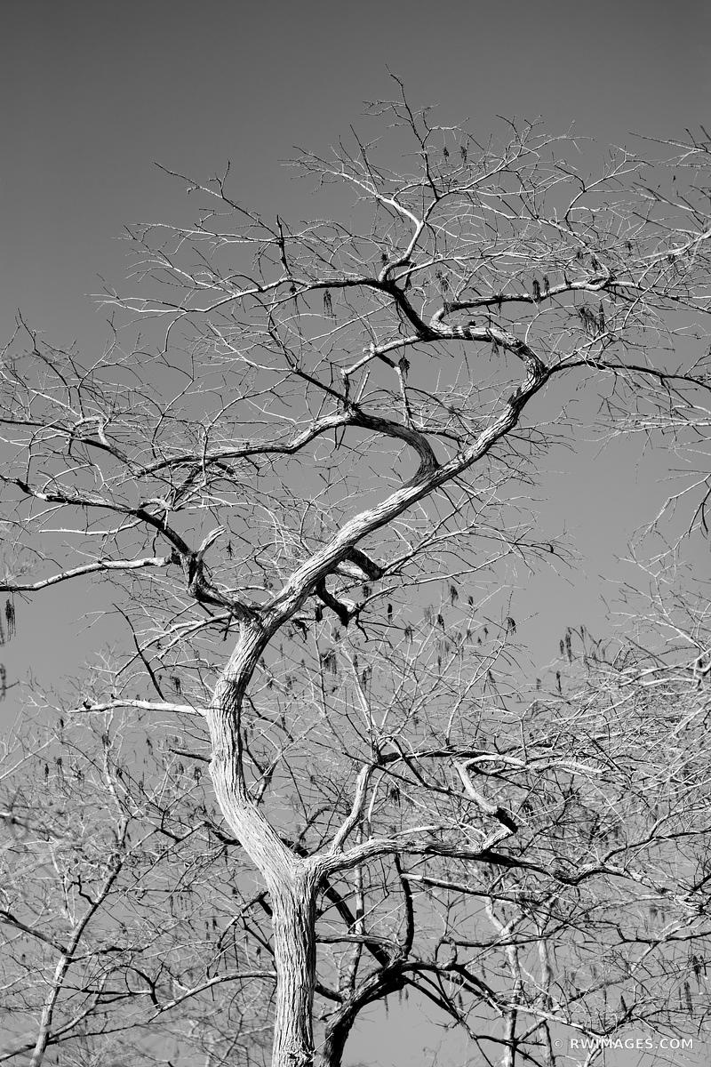 CYPRESS TREE KIRBY STORTER PARK BIG CYPRESS NATIONAL PRESERVE EVERGLADES FLORIDA BLACK AND WHITE VERTICAL