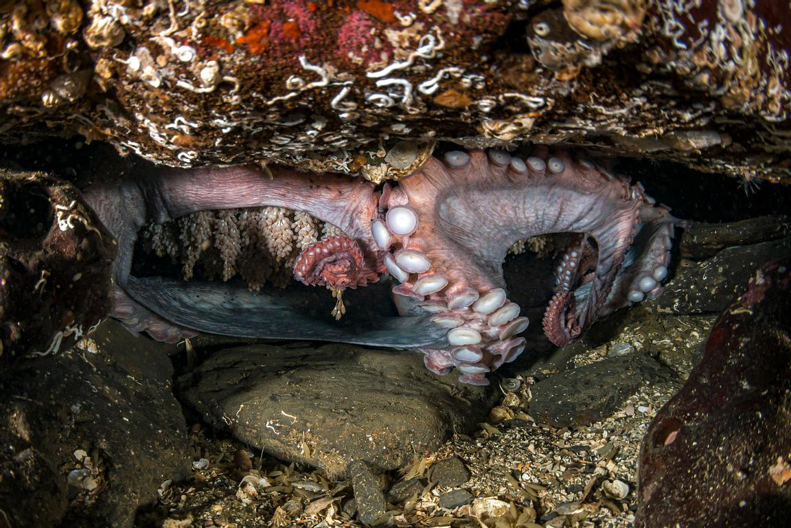 Female Giant Pacific Octopus, Enteroctopus dofleini,  guarding her eggs. She is slowly dying and will not last much longer.