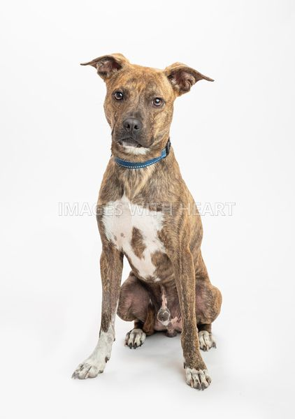 Cute_Brindle_Pit_Bull_Sitting_facing_camera