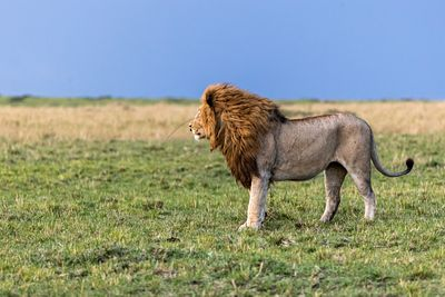 Male African Lion Profile in Africa