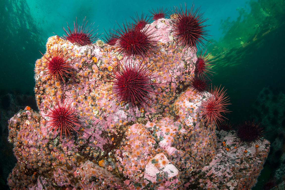 Red Sea Urchin, Mesocentrotus franciscanus, on a rock covered in starwberry Anemone.