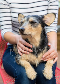 Scruffy Terrier with Eyes Closed in Woman's Lap