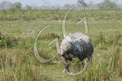 The Great One Horn Rhino / Kaziranga, India