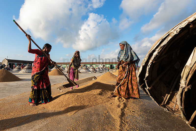 Workers Raking Drying Rice into Piles for Nightime Storage