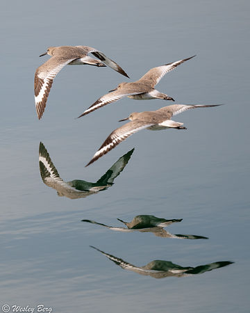 Three Willets Flying with Reflections