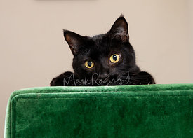 Close-up  of Black Cat Peering Over Green Sofa
